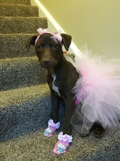 Dog costume. Pink ballerina tutu u0026 bows. Pitbulls in tutus #DogCostumes & Best 50 Funny Pets Halloween Costumes Ever | Humor | Pinterest ...
