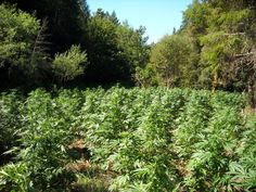 Humboldt County Considers MMJ Outdoor Grow Ordinance | The Humboldt County Board of Supervisors is considering an outdoor grow ordinance for medical marijuana growers. The ordinance would require registered medical marijuana growers to identify their water source, their cultivation area including any structures, and agree not to misuse pesticides and rodenticides. The ordinance is an attempt to prevent further pollution and destruction of the wilderness/wildlife.