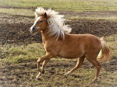 Shetland Pony mare/filly (?) Зефирка (Zefirka)