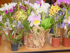 3 nutrientes para orquídeas que fazem milagres.