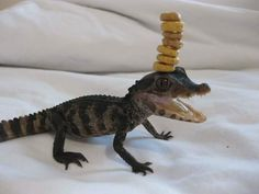cheerio challenge - for fathers day, people set a challenge to put as many cheerios onto their kids (often when sleeping!) - this guy stepped it up a notch by adding it onto his baby alligator friend! Cute Baby Animals, Animals And Pets, Funny Animals, Cute Reptiles, Reptiles And Amphibians, Baby Alligator, Funny Animal Pictures, Random Pictures, Funny Images