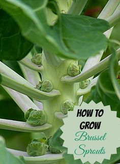 Brussel sprouts are a cold weather crop and can be planted now for late fall gardens. Find out how to grow them: thegardeningcook. Veg Garden, Edible Garden, Lawn And Garden, Garden Plants, Growing Plants, Growing Vegetables, Organic Gardening, Gardening Tips, Indoor Vegetable Gardening