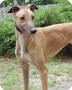 Cherry Hill, NJ - Greyhound. Meet CD's Shannon, a dog for adoption. http://www.adoptapet.com/pet/11022167-cherry-hill-new-jersey-greyhound