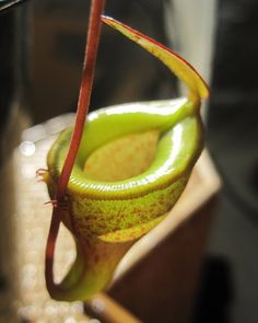 Nepenthes jamban  We will have jamban seedlings for sale/auction this summer.  #carnivorousplants #carnivorousplant #nepenthes #pitcherplants #plants #cephalotus #flytraps #sundews #sarracenia #pinguicula #heliamphora by carnivorousplantstore