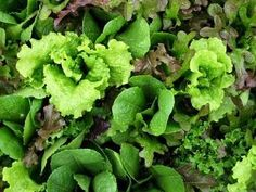 """Mesclun Mix Lettuce (literally meaning """"mixture"""") is a colorful collection of tender baby salad greens intended to be sown together for ease of harvesting"""