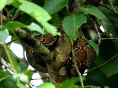 Reticulated Python Sukau Kinabatangan River Borneo #skane #python #borneo #sukau #kinabatanganriver #travel