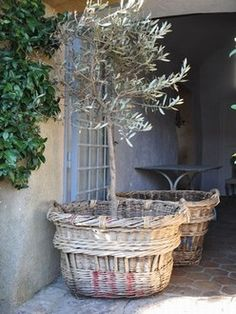 olive trees in vintage baskets!  // Great Gardens & Ideas //