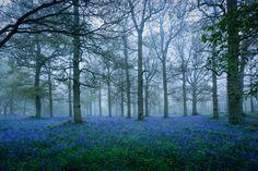 Bluebells in the Fog
