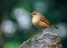 Siberian rubythroat (Luscinia calliope) female,  is a small passerine bird that was formerly classed as a member of the thrush family Turdidae, but is now more generally considered to be an Old World flycatcher, Muscicapidae. It, and similar small European species, are often called chats.