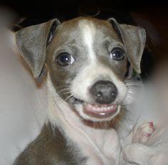 Italian Greyhound Diva