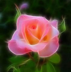 ♥♥A rose represents ones love for another... heart to heart. ♥♥