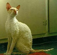 Cornish Rex The coat of a Cornish Rex is extremely fine and sometimes curly, the softest of any cat breed. Chat Rex Cornish, Devon Rex, Sphynx, Cat Breeds, Cats And Kittens, Kitty Cats, I Love Cats, Animals Beautiful, Funny Cats