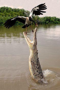 Darwin, Northern Territory, Saltwater Crocodile by francomottironi - Jumping crocodiles Nature Animals, Animals And Pets, Funny Animals, Cute Animals, Les Reptiles, Reptiles And Amphibians, Beautiful Birds, Animals Beautiful, Animals Amazing