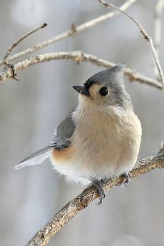 The Tufted Titmouse (Baeolophus bicolor) is a small songbird from North America, a species in the tit and chickadee family (Paridae). The habitat is deciduous and mixed woods as well as gardens, parks and shrubland in the eastern United States; they barely range into southeastern Canada in the Great Lakes region.