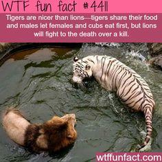 Tigers vs lions - WTF fun facts