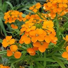 Orange Siberian Wallflower Flower Seeds / Erysimum / Perennial 50+