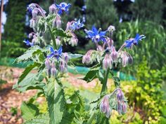 ogorecznik lekarski Garden Plants, Herbalism, Gardening, Flowers, Instagram, Floral, Lawn And Garden, Royal Icing Flowers, Florals
