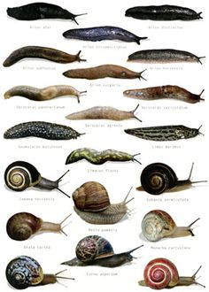 Easy ways to rid slugs and snails organically! When slugs and snails invade gardens they can certainly cause some real damage consuming up t. Organic Herbs, Organic Gardening, Gardening Tips, Getting Rid Of Slugs, Pet Snails, Pet Fish, Bugs And Insects, Garden Pests, Aquaponics