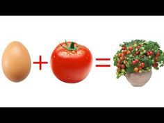 Eggs, tomatoes and a little soil, the results will surprise you Growing Fruit Trees, Growing Seeds, Growing Plants, Growing Tomatoes, Growing Vegetables, Home Made Fertilizer, Tomato Cultivation, Potager Garden, Gardening