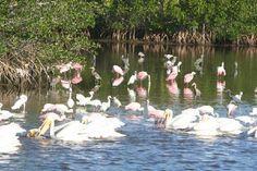 J.N. (Ding) Darling National Wildlife Refuge: White Pelicans, Blue Herons and Pink Roseate Spoon Bills at Ding Darling, Sanibel Island