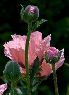 Pink poppies -- love how the petals are all folded up in the bud like tissue paper Amazing Flowers, My Flower, Flower Power, Beautiful Flowers, Beautiful Gorgeous, Cactus Flower, Absolutely Stunning, Simply Beautiful, Pink Poppies