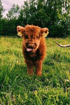 KategoriAdi} , {ResimSayisi} wallpaper wallpaper – Animal Wallpaper And iphone Cute Baby Cow, Baby Animals Super Cute, Baby Cows, Cute Cows, Cute Little Animals, Cute Funny Animals, Cute Babies, Cow Wallpaper, Animal Wallpaper