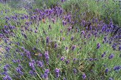 Lavendel - duftende Pflanze und Heilkraut für jeden Garten: So pflanzen, pflegen und überwintern Sie Ihren Lavendel - die besten Tipps.