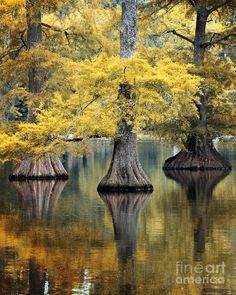 ✮ Cypress Trees in Autumn