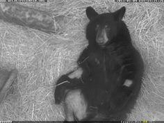 Black Bear #12-2655 | The Wildlife Center of Virginia