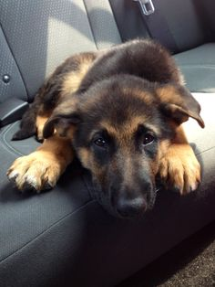 "GSD Puppy-Titan..."" This is my seat. don't even think of taking it!"" (Don't you just love the color in of his hair above the eyes, giving the illusion of an eyebrow?!)"