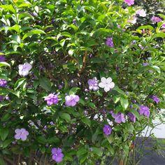 Manacá de jardim florindo