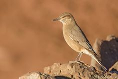 Mero Gaucho | Agriornis montana leucura | Black-billed Shrike-tyrant
