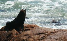 Leão-marinho em Cabo Polonio, no Uruguai