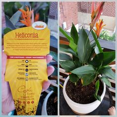 Heliconia added in 2016