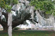 Oak with Spanish Moss - Charleston, S. I love Charleston. Wish I Was There, Spanish Moss, Daily Photo, Places To See, Charleston, Vacations, Plants, Southern, Pictures