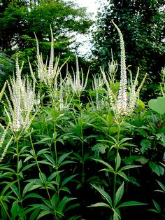 ~Culver's Root for the back of the border