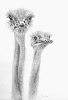 ostrich drawing - Google Search