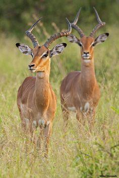 Impala bucks - Tanzania .
