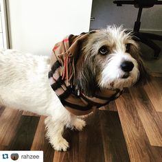 How cute & chic is our #ipiit #officedog Lucy #Repost from our cofounder  @rahzee  Fashion show #fashion #dogfashion #pbgv #peeb #petitbassetgriffonvendéen