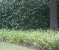 Carex Mor. Variegata