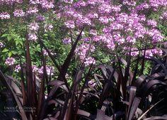 Princess Caroline grass with Senorita Rosalita® Spider Flower Cleome hybrid l Unique by Design