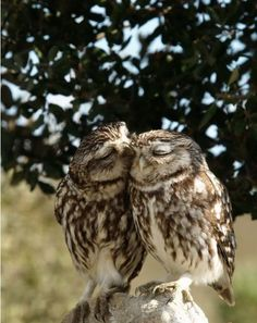 Aww, Kissing owls. Owls are for life mates so when one owl passes the owl left behind doesn't re-mate. Amazing