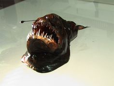 The female humpback anglerfish (Melanocetus johnsoni), shown here, is about the size of a tennis ball, with a large stomach and ferocious teeth like prison bars. Like many deep-sea fish it has watery flesh and light bones, and hangs in the water waiting for passing prey. The female also has a projecting lure with a light organ in the tip, and small eyes. The male is much smaller. Shaped like a jelly bean with fins, it has no lure, and a small mouth. In contrast to the female, it has muscles…
