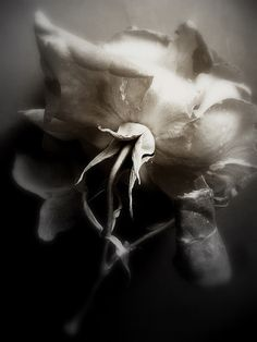 by Maska Cordwell Shades Of Grey, Pretty Flowers, Flower Power, Still Life, Statue, Black And White, Abstract, Inspiration, Painting