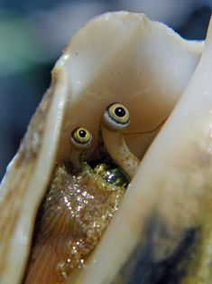 a conch peeping out of its shell