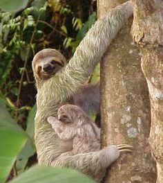 Meet these in Costa Rica! The Brown Three toed sloths!