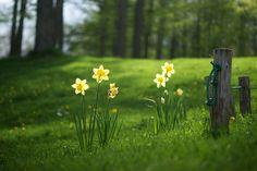 daffodils growing wild