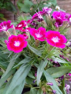 Fucsia pink flowers