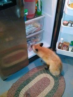 Some naughty fox is getting into the fridge! Fantastic Fox, Fabulous Fox, Fox Pictures, Funny Animal Photos, Animals And Pets, Baby Animals, Cute Animals, Fennec, Fox Images