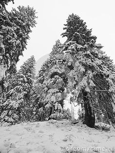 Snowy path in misty forest in wintern. Black and white